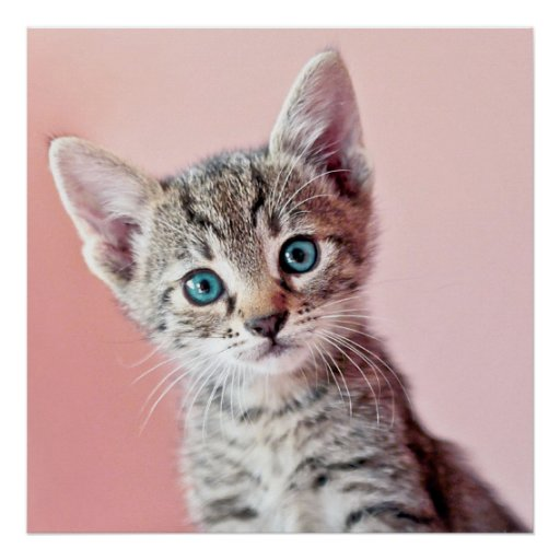 Cute kitten with blue eyes. poster
