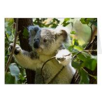 Cute Koala Bear Destiny Nature Aussi Outback