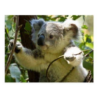 Cute Koala Bear Destiny Nature Aussi Outback Postcard