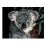 Cute Koala Bear Post Cards