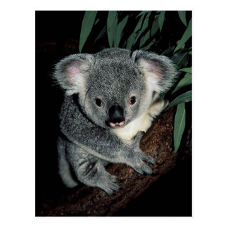 Cute Koala Bear Postcard