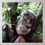 Cute Koala Bear relaxing in a Tree Poster