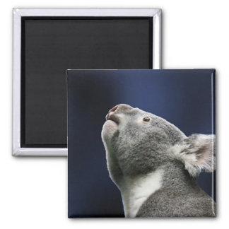 Cute Koala looking up in wonder 2 Inch Square Magnet