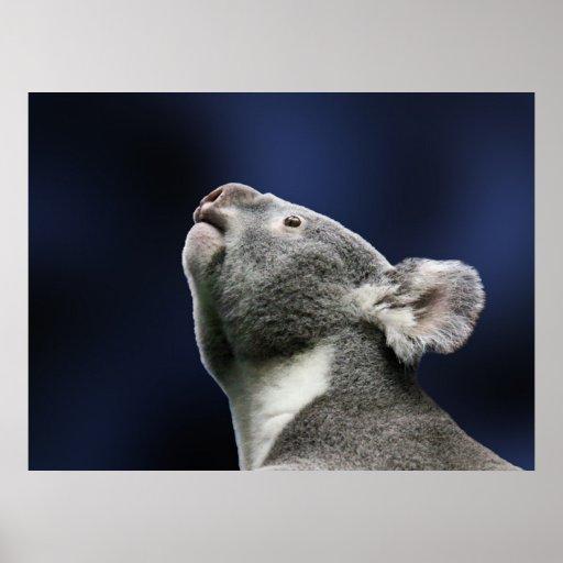Cute Koala looking up in wonder Poster