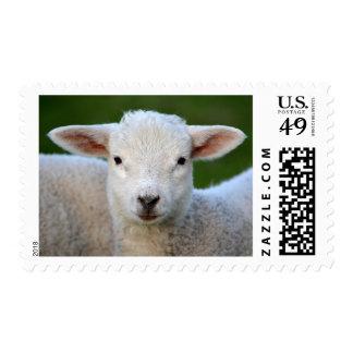 Cute lamb portrait postage