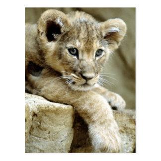 Cute Lion Cub Postcard
