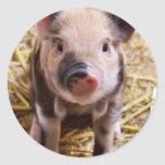 Cute little Baby Piglet Round Sticker