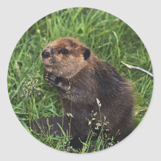 Cute Little Beaver Classic Round Sticker