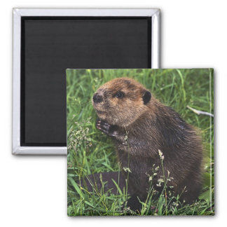 Cute Little Beaver Magnet