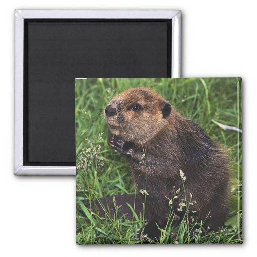 Cute Little Beaver Refrigerator Magnet