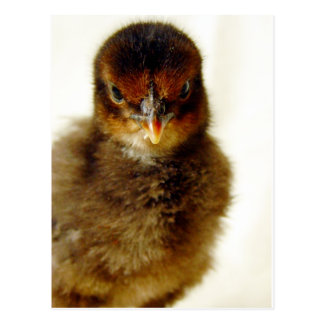 Cute Little Chick Post Cards