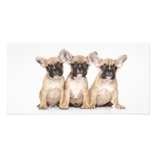 Cute little French Bulldogs Card