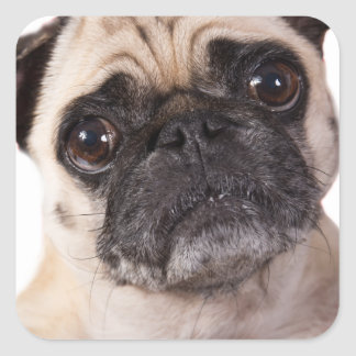 cute little pug dog square sticker
