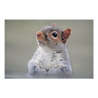 Cute Little Soft and Fluffy Gray Squirrel Poster