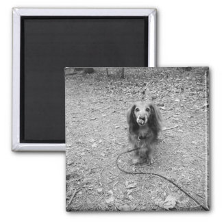 Cute long haired dachshund photo square magnet