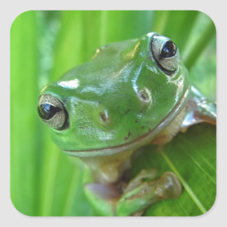 Cute Looking Tree Frog Close Up Square Sticker