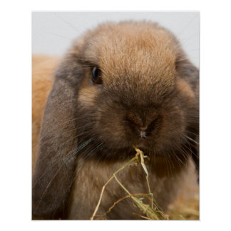 Cute lop eared bunny poster