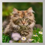 Cute Maine Coon Kitten Cat Animal Photo Poster