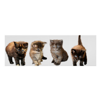 Cute Maine Coon Kitten Posters