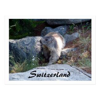 Cute marmot Switzerland -- Postcard