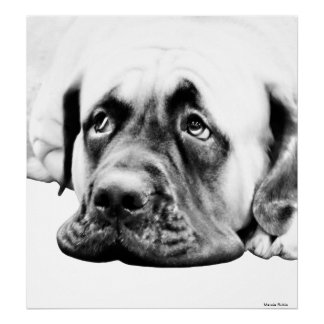 Cute Mastiff dog Poster