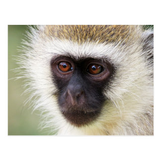 Cute monkey portrait postcard
