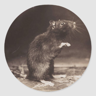 Cute Morbid Rat Early Photography Classic Round Sticker