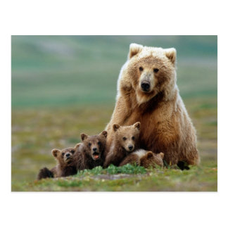 Cute Mother Grizzly Bear and Her Cubs Postcard