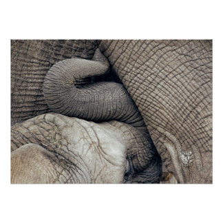 Cute Nursing Baby Elephant Breastfed By Mother Poster