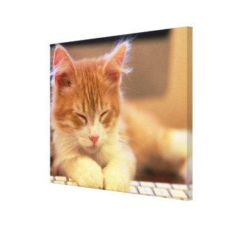 Cute Orange Kitten Falls Asleep Canvas Print