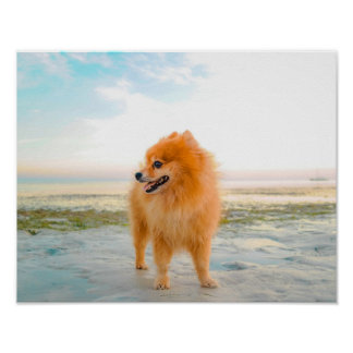 Cute Orange Pomeranian in Sand at the Beach Poster