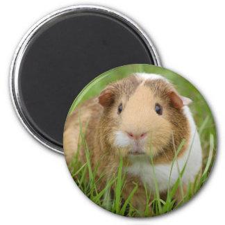 Cute orange-white guinea pig in grass magnet