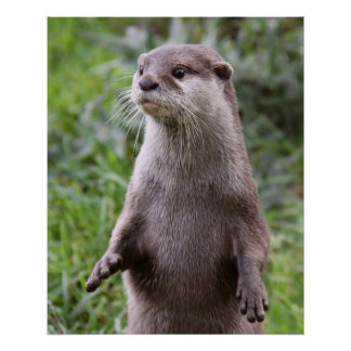 Cute Otter Poster