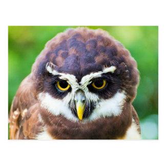 Cute Owlet Portrait Postcard
