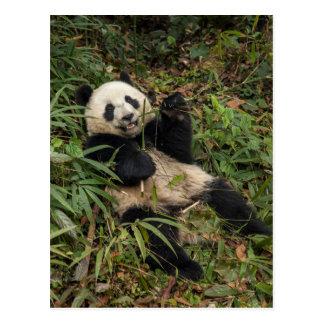 Cute Panda Eating Bamboo Postcard
