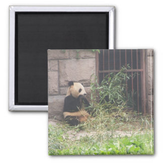Cute Panda Eating Bamboos In His Cage At Zoo Magnets