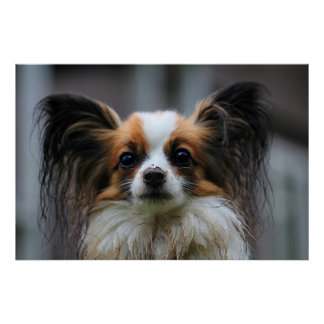 Cute papillon dog poster
