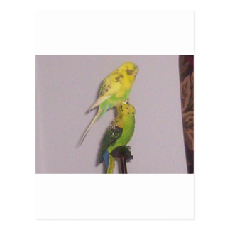 cute parakeet postcard