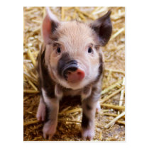 Cute Pic of a baby Pig Postcard