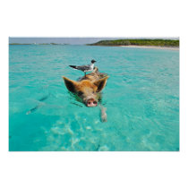 Cute pig swimming in water poster