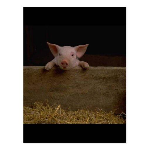Cute Piglet Postcard