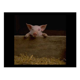 Cute Piglet Post Cards