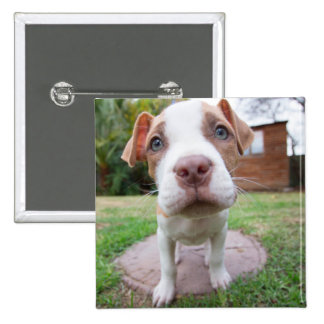 cute pit bull dog brown nose close button
