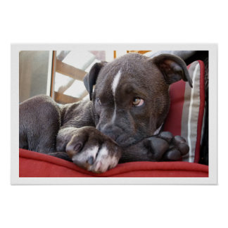 Cute Pit Bull Puppy Poster
