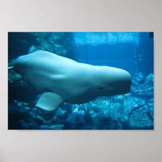 Cute Playful Beluga Whale In Aquarium At Georgia Poster