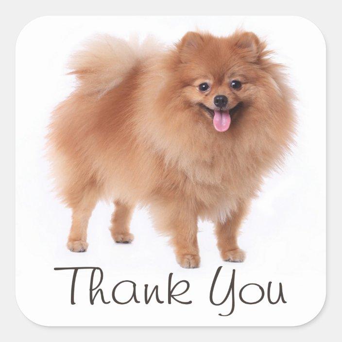 Cute Pomeranian Puppy Dog Thank You Pom Pom Square Sticker Zazzle Com