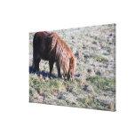 Cute pony grazing on the paddock. canvas print