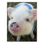Cute Pot Belly Pig Postcard