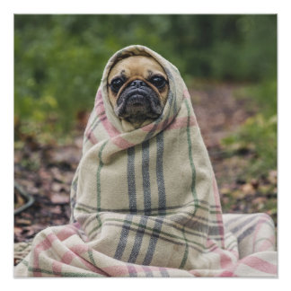 Cute Pug Close-Up poster