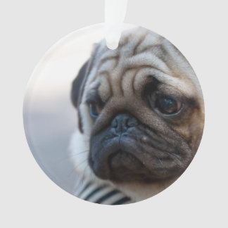 Cute Pug Face Closeup